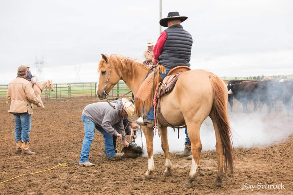 Esh Branding in Colorado - dun horse and cowboy at a branding