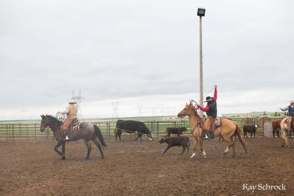 Esh Branding in Colorado - cowboy roping at a branding