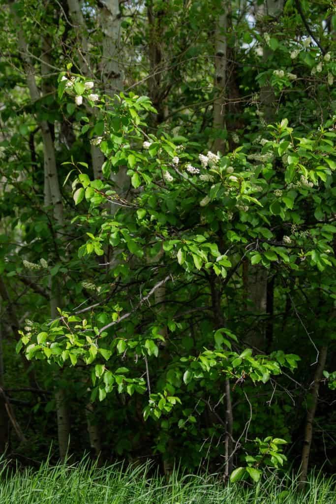 chokecherry tree in bloom