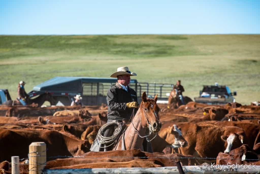 cowboy horseback in middle of cow herd