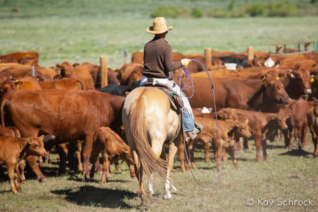 cowboy with a lasso, looking at cows