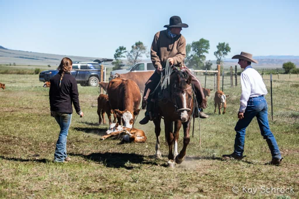 horse dragging calf to fire, cowboys ready to help