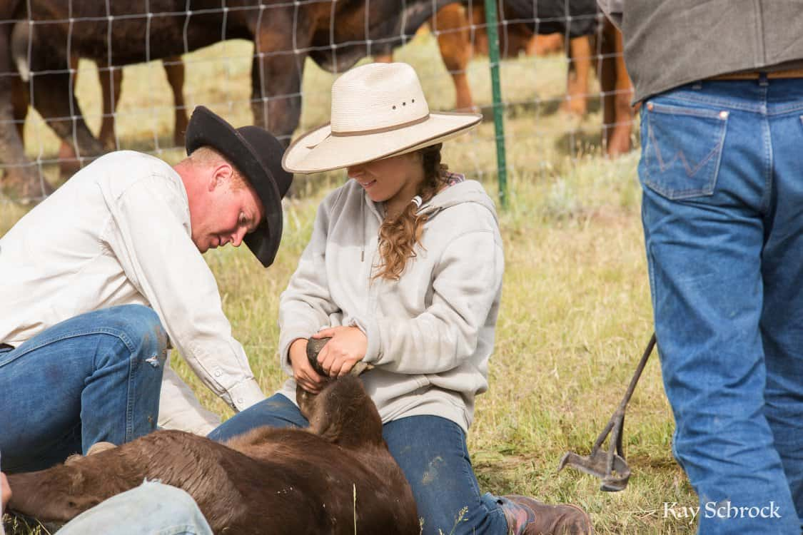 cowgirl holding a calf while cowboys castrates it